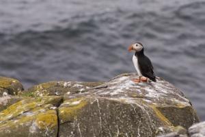 Les macareux doivent faire face à un avenir incertain car le changement climatique réchauffe petit à petit les mers autour des îles écossaises.
