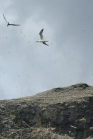 Les oiseaux par milliers sur Stac Lee ©Camille Peney