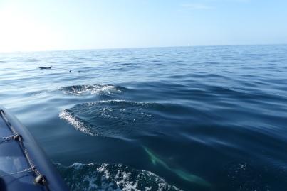 Les dauphins communs dans la baie d'Audierne ©Camille Peney