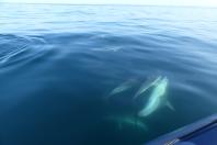 Les dauphins communs autour du bateau ©Camille Peney