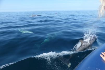 Les grands dauphins dans la baie d'Audierne ©Camille Peney