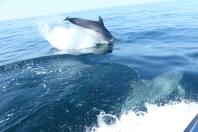 Les grands dauphins près de l'île de Sein ©Camille Peney