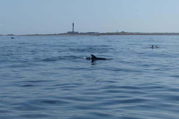 Les grands dauphins au large de l'île de Sein ©Camille Peney