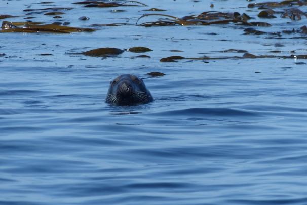 Dans l'eau, un phoque nous observe ©Camille Peney